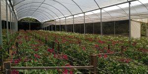 Até 66% dos floricultores de Holambra podem entrar em falência
